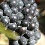 Pinot noir cluster