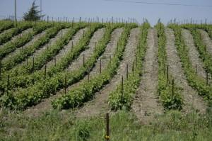 Vineyard slope