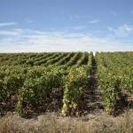 High density vineyard